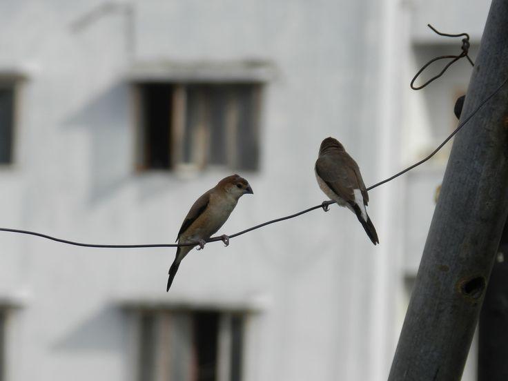 https://flic.kr/p/vyBHxs | Indian Silverbill/Euodice malabarica | పిచ్చుక Finches