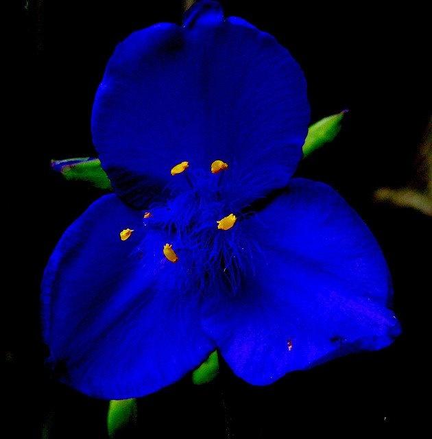 Spiderwort aka Trillium
