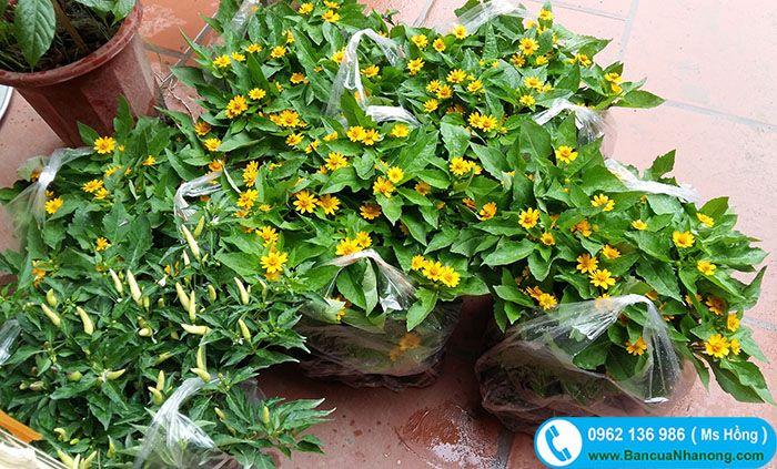 Cúc mặt trời cũng giống với cây rồng nhả ngọc, cây hoa ngũ sắc, cây hoa cẩm chướng,... dùng làm cây trang trí, trồng vườn,...
