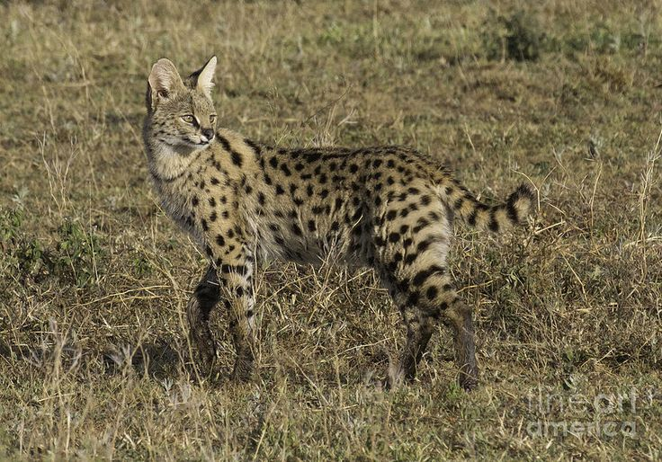 african serval cat   African Serval Cat 3 Photograph - African Serval Cat 3 Fine Art Print