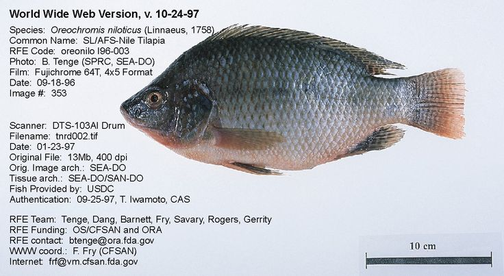 Is tilapia a bottom feeder wiring diagrams wiring for Is tilapia a bottom feeder fish