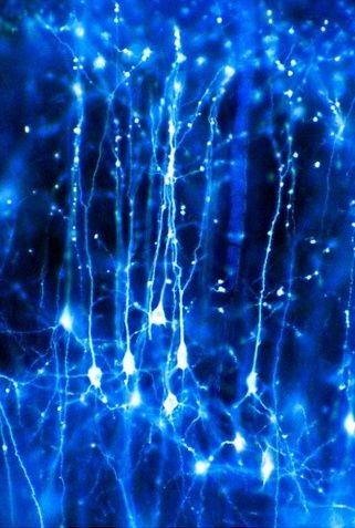 pyramidal neurons in the cerebral cortex