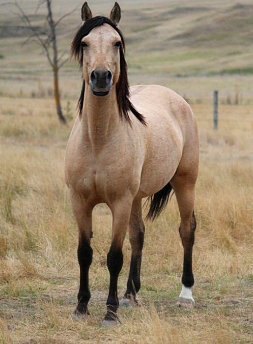 Buckskin dun Morgan mare, DM Aimee Farrah.