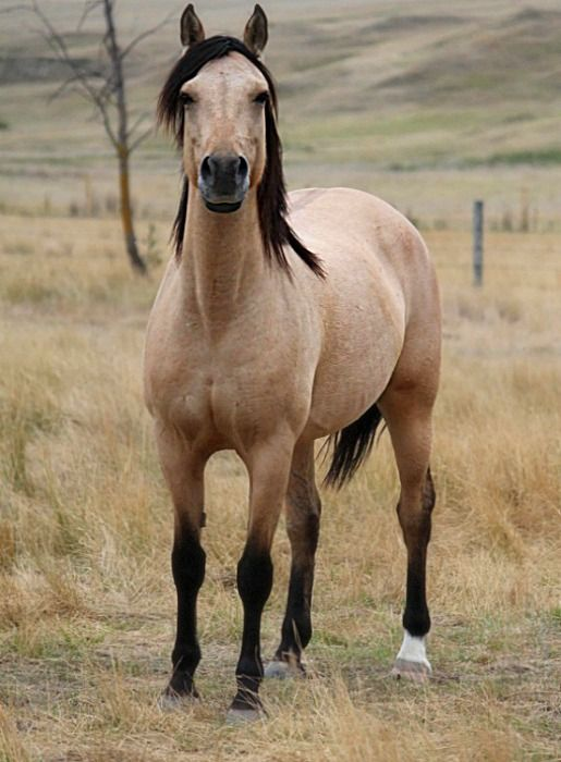 Buckskin horse. I have always wanted one since a little girl because I fell in love with the man from snowy river.