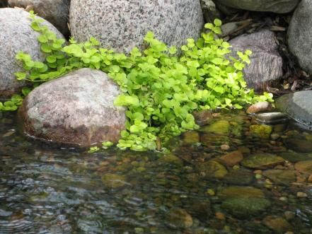 Grow creeping Jenny as a groundcover, around and between the rocks in your pond or in submerged containers. It thrives in moist soil or water up to an inch deep, in full sun to part shade. The plants have chartreuse leaves, tiny yellow flowers and a trailing growth habit. Recommended for zones 3 to 10, it can be invasive but is easily managed by pulling. Never discard the plants in lakes or public waterways where they can spread.