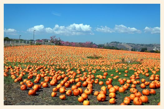 The largest pumpkin patch in southern California - Cal Poly Pomona Pumpkin Patch!