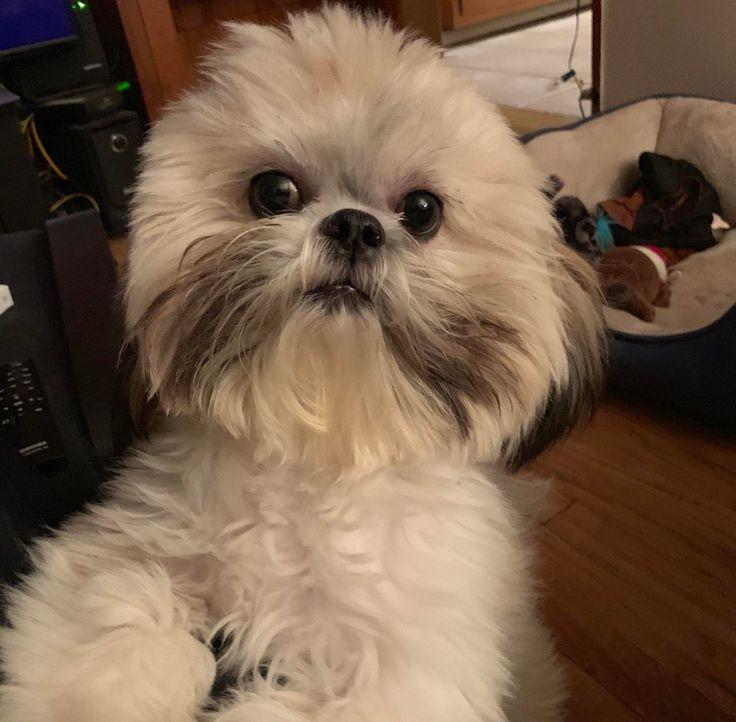 I my shihtzu shihtzu shih tzu puppy shih tzu funny