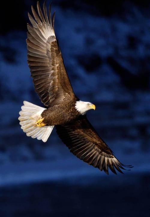 Beautiful!  Bald Eagle over the River Des Moines, Iowa. (Charlie Neibergall / AP) :)  #animals #bald eagle