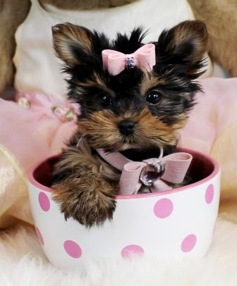 teacup yorkie for sale mn 17 best ideas about teacup yorkie on pinterest yorkie 7684