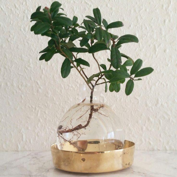 Swedish lingonplanta. Plant in a vase. Svenskt tenn.
