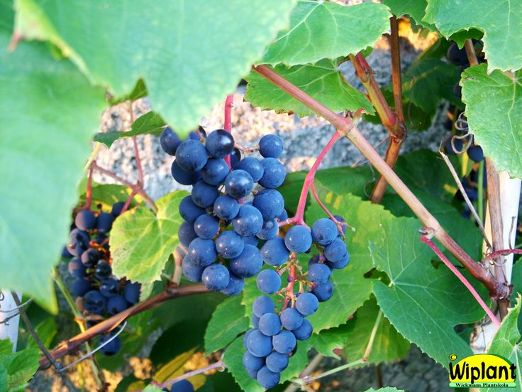 Vitis 'Zilga' och många fler vinrankor, finns på skilld anslagstavla.