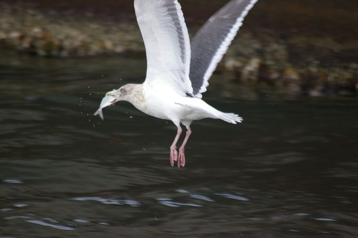 Sea gull catching a fish by Keith Kami on 500px