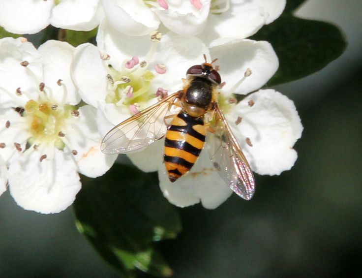 Bessenbandzwever of Bessenzweefvlieg (Syrphus ribesii)