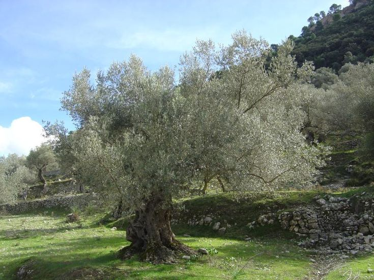 Los olivos, árboles impresionantes que regulan la cantidad de luz que entra en su copa - http://www.jardineriaon.com/los-olivos-regulan-la-cantidad-luz-entra-copa.html #plantas