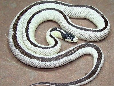 Reverse Stripe California King Snake Adult Scales