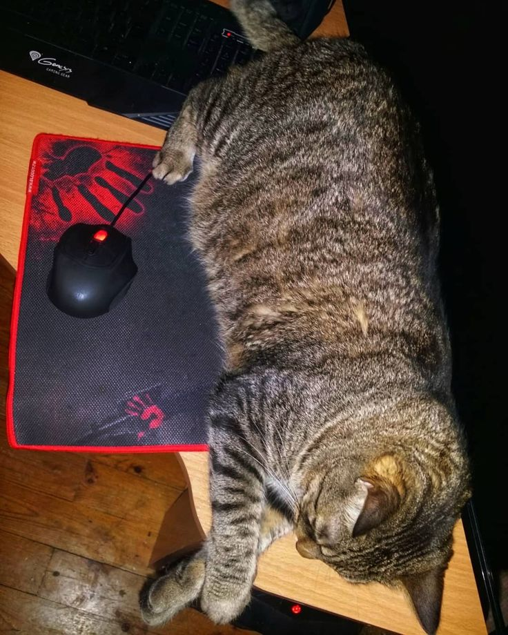 Pomyślałem że tak będzie ci wygodniej grać. Tylko nie przesuwaj myszki w prawo bo stracisz rękę. A - i zablokowałem dupskiem enter. Nie dziękuj.  #neiragra #Judasz #cat #gaming