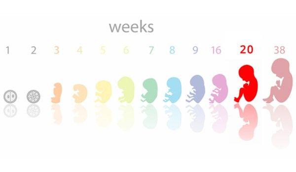 مراحل تطور الجنين بالأسابيع Tech Company Logos Vimeo Logo Company Logo