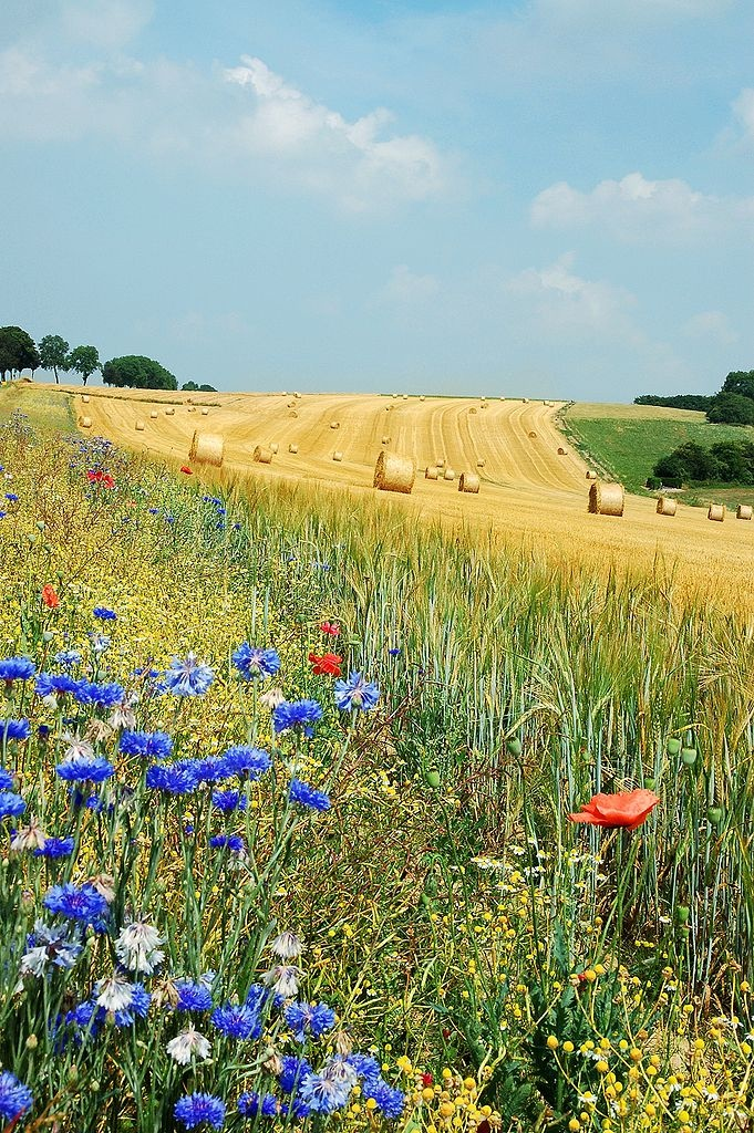 Summer field in Belgium (Hamois). The blue flowers are Centaurea cyanus and the red are Papaver rhoeas.