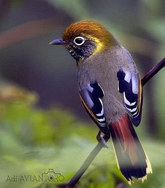 Chestnut-tailed Minla, found in Bhutan, India, Laos, Malaysia, Myanmar, Nepal, Thailand, Tibet and Vietnam.