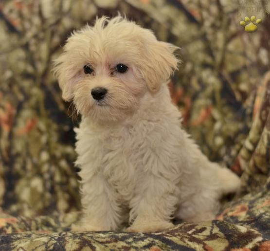 Jed - Maltipoo Puppy for Sale in Millersburg, OH | Buckeye Puppies