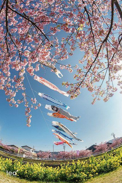 "ileftmyheartintokyo: ""Sony a7 | DSC07916 田原市 菜の花まつりの鯉のぼり(Cherry Blossom in Tahara Japan) by tea81p on Flickr. """