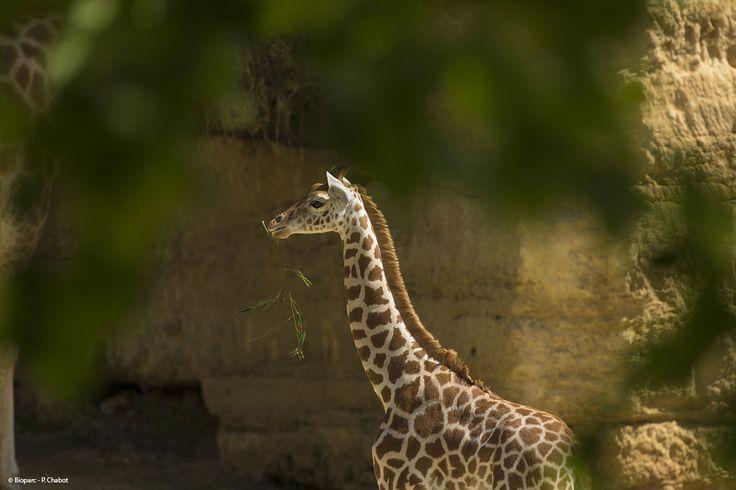 Depuis l'arrivée des girafes au Bioparc, de nombreuses naissances ont eu lieu. Ici, un petit né en 2013.