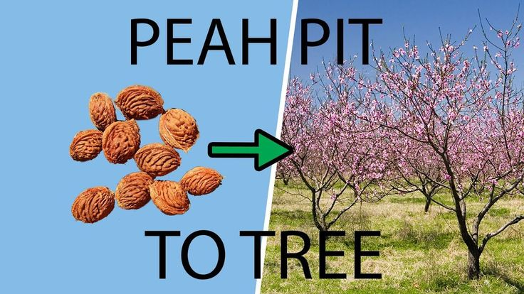 How to Plant & Grow a Peach Tree from a Pit & Seed#grow # ...