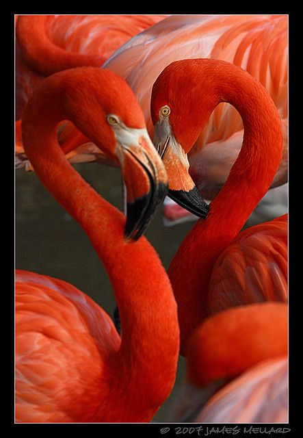 Nature is amazing. The beautiful flamingo-the art of love