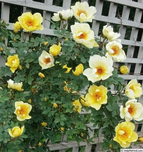 'Aïcha' Rose Photo