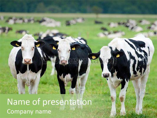 Gado leiteiro Rural animais Modelos de PowerPoint