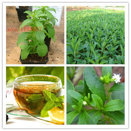 500 neue Stevia Samen, Stevia Kräuter Samen Grüne Kraut, Stevia rebaudiana Semillas für Garten Pflanzen chinesische billig kraut samen