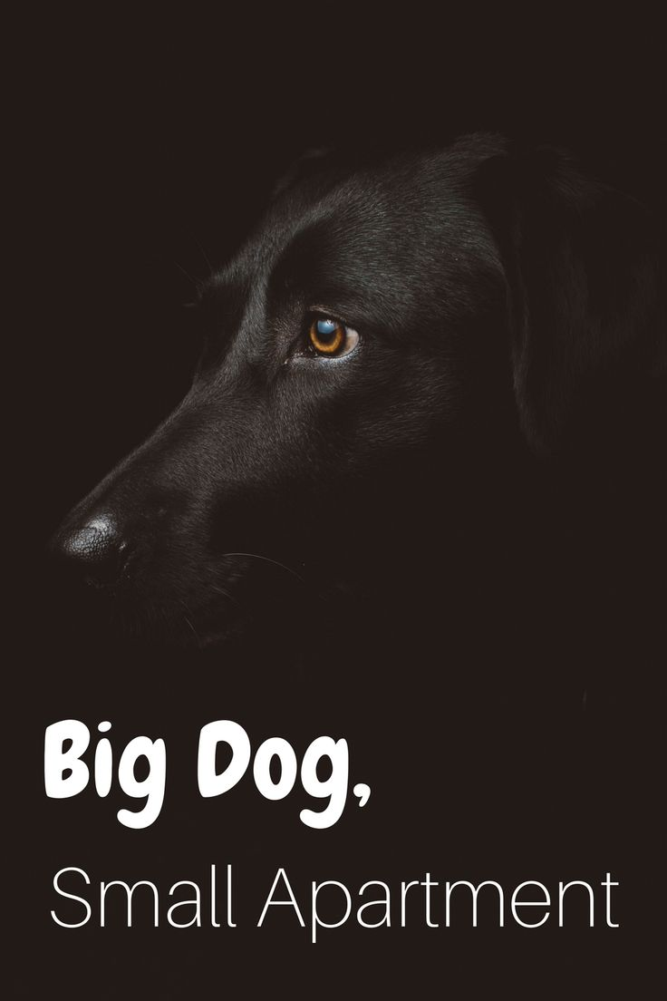 Big dog in a small apartment is totally doable! #dogs #apartments #petfriendly #dogfriendly