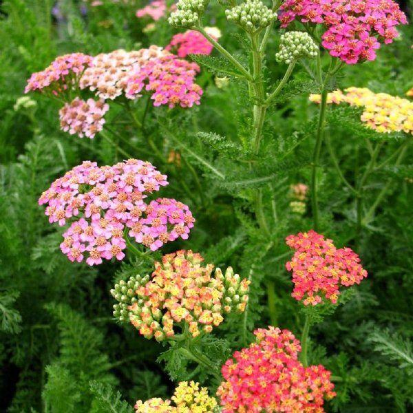 Pin By Mary Ann Schmalz On Parori Yard In 2020 Plants Achillea Yarrow