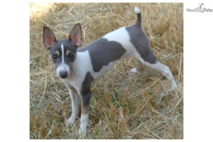 Female Rat Terrier Puppies | Mackie - Mini Female | Blue, Brown, White Female Rat Terrier For Sale ...