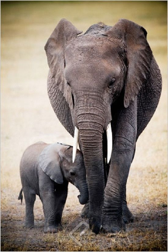 Elephant & Baby 24x36 Inch Full Color Wildlife Poster This beautiful, full color, 24 x 36 inch poster captures a Mother Elephant embracing her adorable Calf surrounded by their natural African habitat