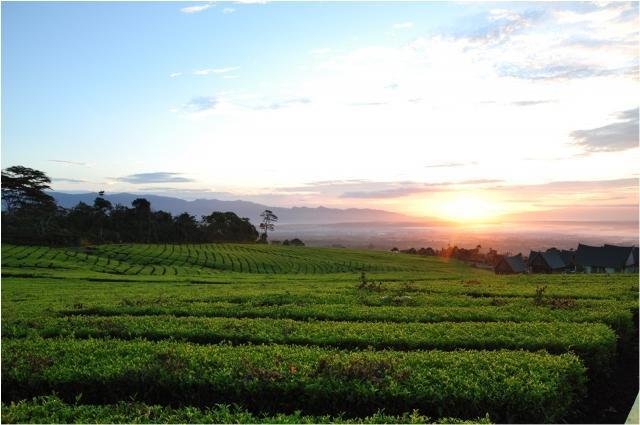 Tea Plantation, Pagaralam, South Sumatera, Indonesia