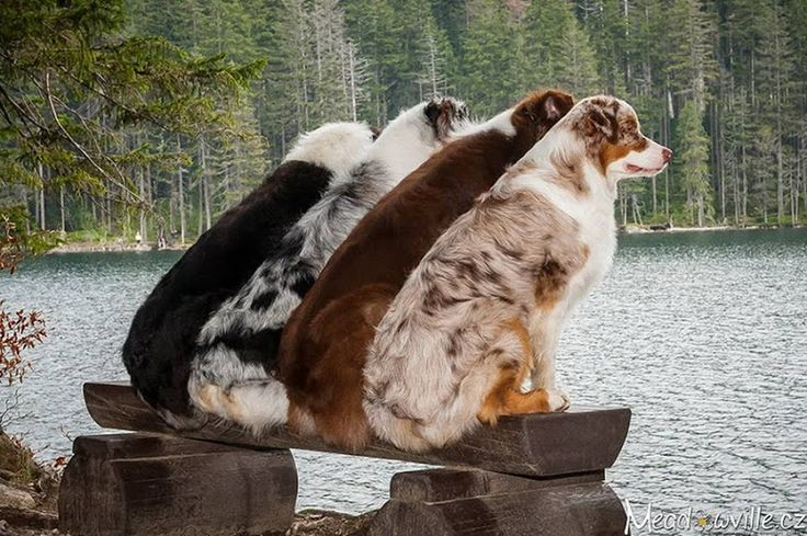 Australian Shepherds How beautiful of a picture of the major Aussie colors! I want one of each!!!