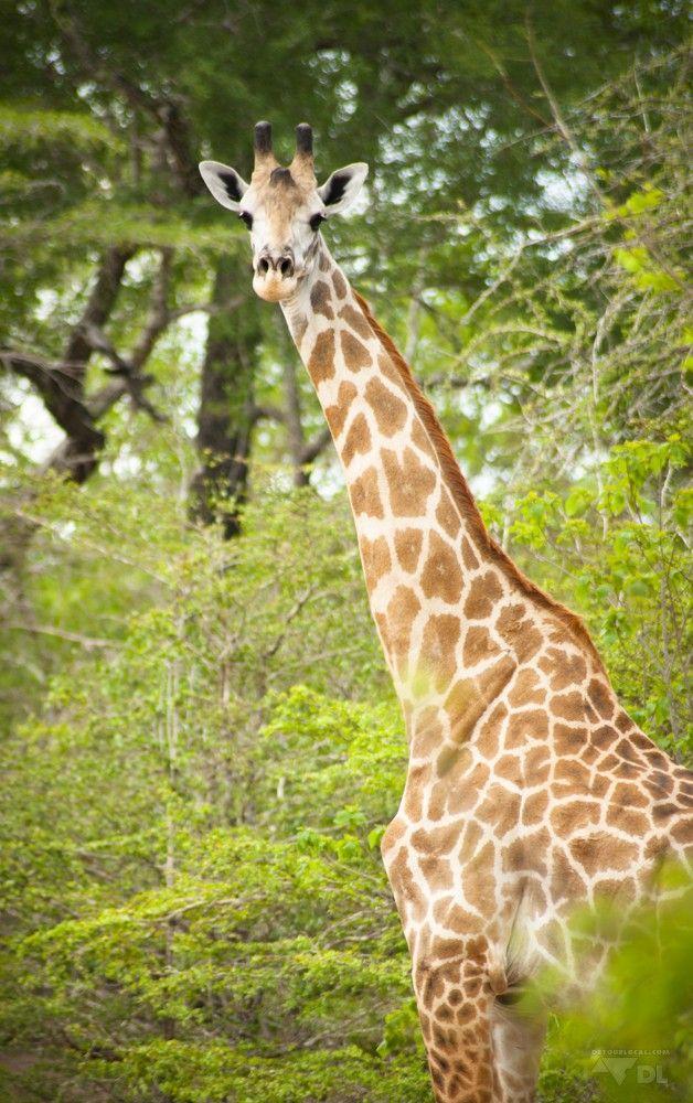 Safaris en Tanzanie: trucs et astuces (Detour Local) -> Girafe surprise www.detourlocal.com/safaris-en-tanzanie/