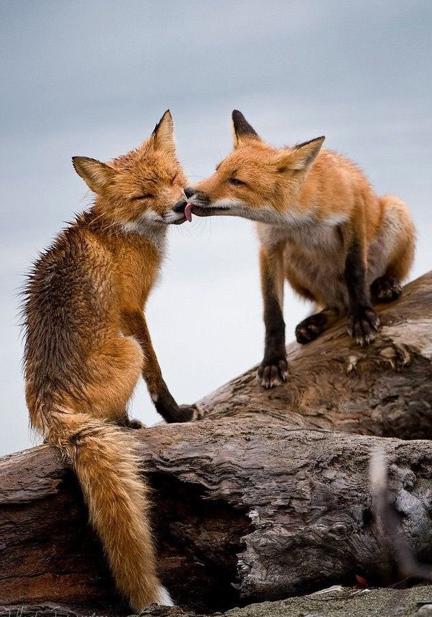 Fox kisses