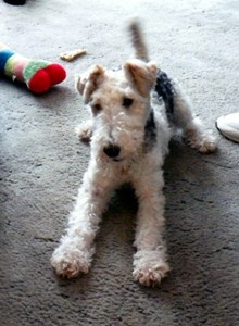wire fox terrier-poised for action