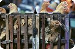 GMO madness: Frankenscientists develop genetically-modified chickens they claim will halt avian flu transmission