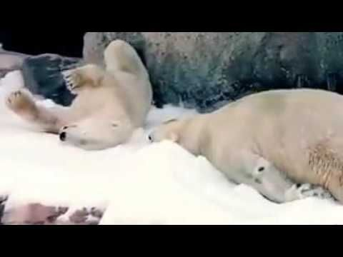 #Медведь радуется - в зоопарк привезли снег! White #bear is happy - at t...