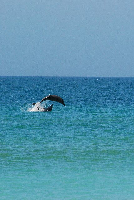 Dolphins jumping at Venice Beach, Florida