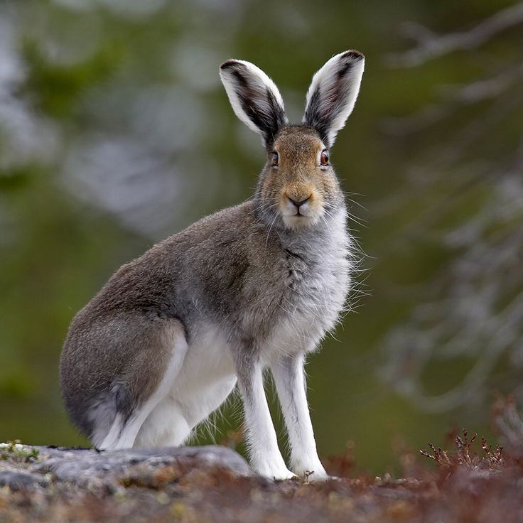 Arctic Hare in Finnish taiga forest.