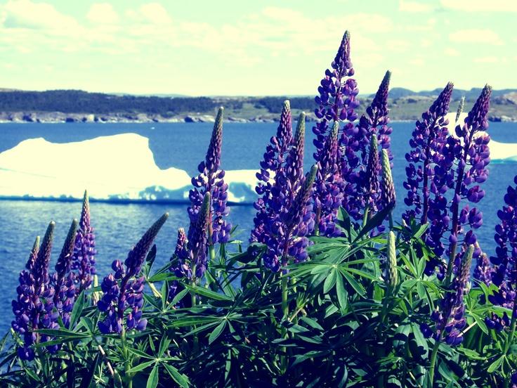 Newfoundland, Canada Lupins grow wild in many communities...our own Wild Mountain Thyme...