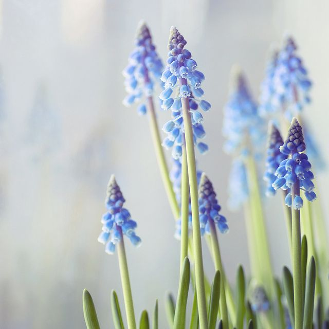 Muscari is a genus of perennial bulbous plants native to Eurasia that produce spikes of dense, most commonly blue, urn-shaped flowers resembling bunches of grapes in the spring. The common name for the genus is Grape Hyacinth.
