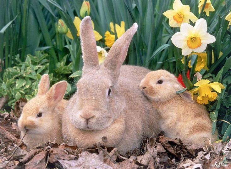 Кролики в подсобном хозяйстве. Общие сведения, особенности разведения кроликов.