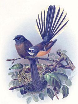 fantail - J. G. Keulemans illustration for Bullers Birds, 1888