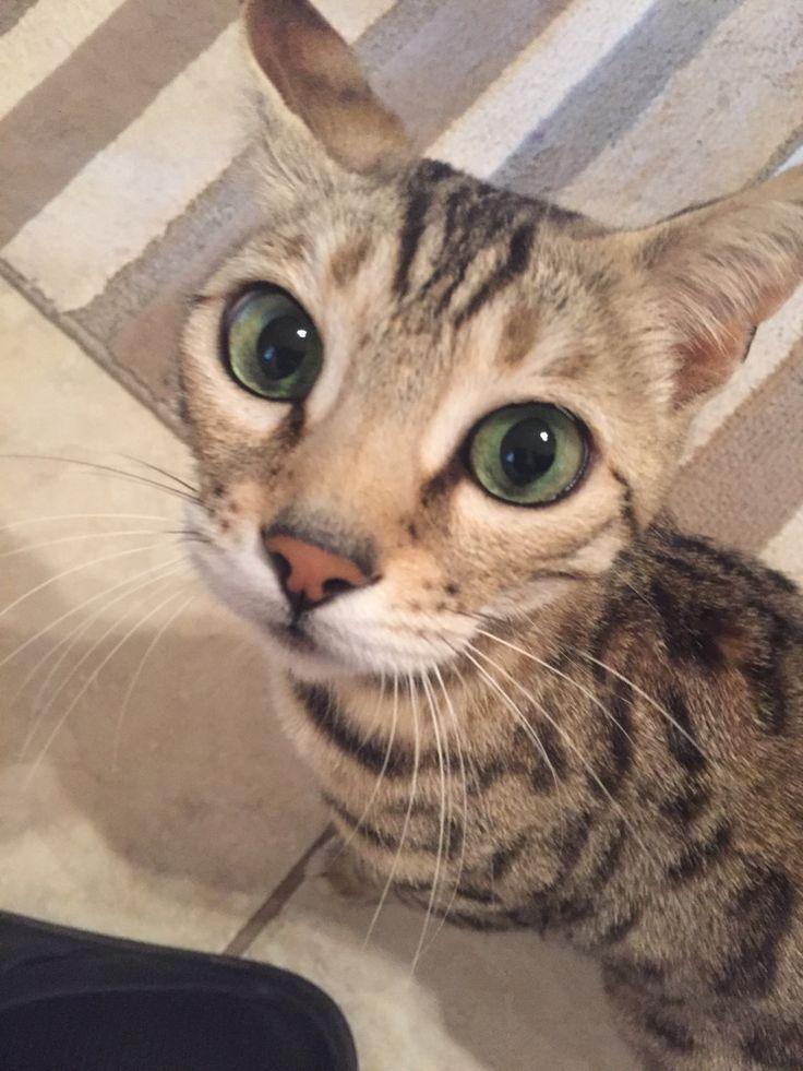 Beautiful F5 Savannah Cat http://ift.tt/1TED04G