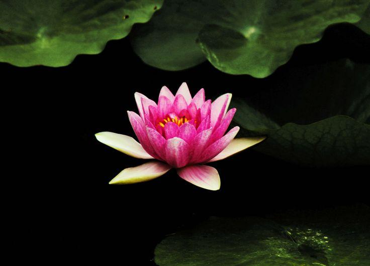 https://flic.kr/p/Ltg6Rq | Fiore di Loto - Lotus Flower